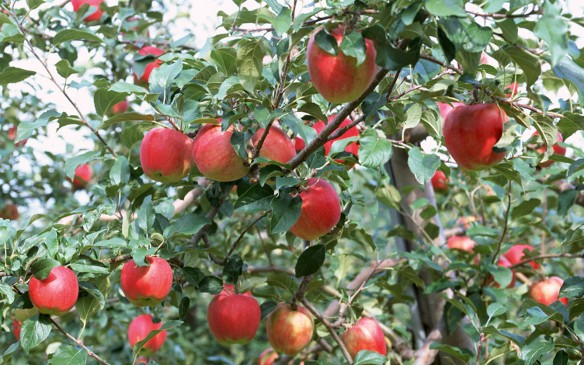 fruit_apple_apple-tree_wallpaper_ea60026
