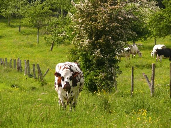 6451-Vache normande (c) Calvados Tourisme-(c) Calvados Tourisme.JPG