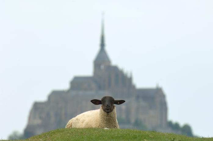 3206-Mont-Saint-Michel mouton (c)Eric LEGRAND-(c)Eric LEGRAND.jpg