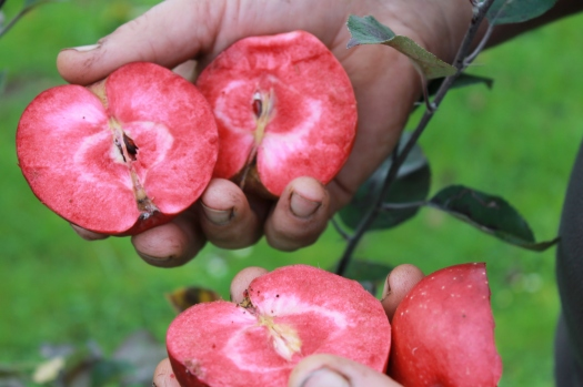 red flesh apples - le Cerisey.JPG