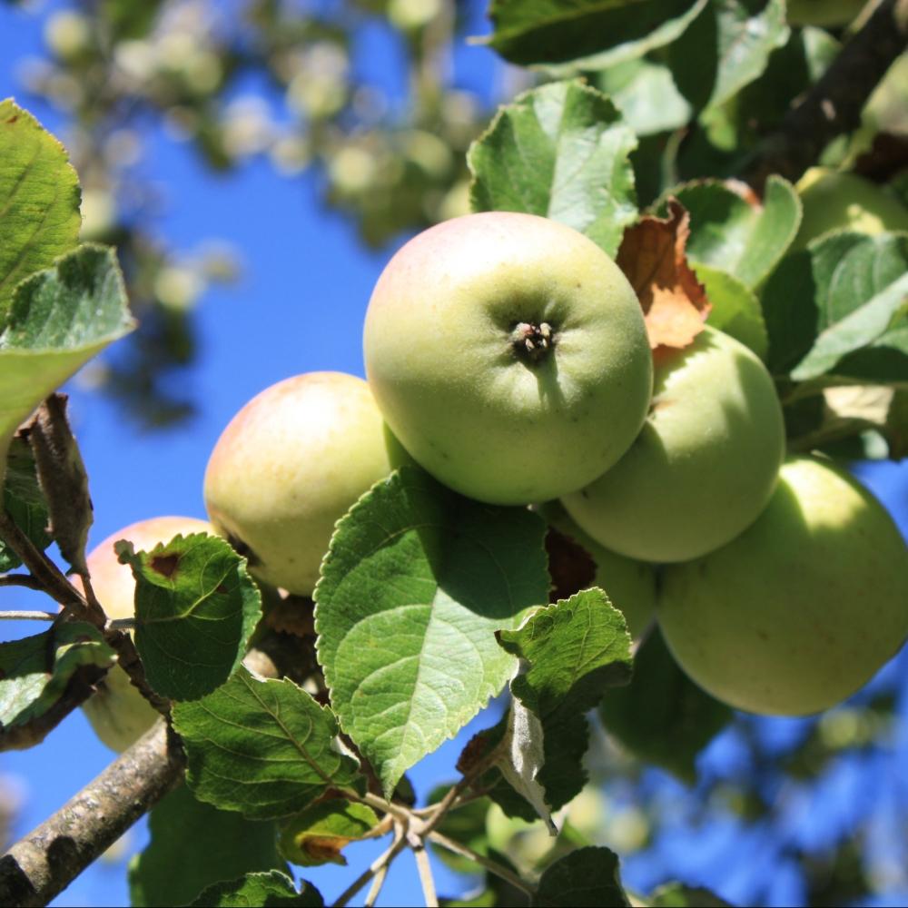 IMG_4749 Orchards at Maison de la Pomme et de la Poire, Barenton