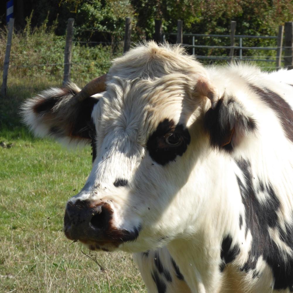 p1030270-norman-cow-perche-regional-nature-park.jpg